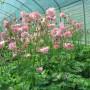 Erbaio_Gorra_Vivaio_Piante_Torino_Piemonte_Aquilegia vulgaris 'Rose Barlow' 2