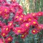 Erbaio_Gorra_Vivaio_Piante_Torino_Piemonte_Chrysanthemum 'Feau de l'Automne' 3