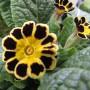 Erbaio_Gorra_Vivaio_Piante_Torino_Piemonte_Primula 'Gold Lace'4
