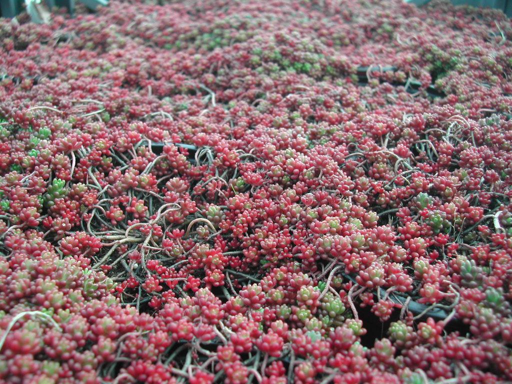 Sedum album coral carpet l 39 erbaio della gorra - Sedum album coral carpet ...