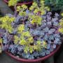 Erbaio_Gorra_Vivaio_Piante_Torino_Piemonte_Sedum spathulifolium 'Purpureum' 2