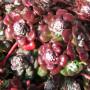 Erbaio_Gorra_Vivaio_Piante_Torino_Piemonte_Sedum spathulifolium 'Purpureum' 3