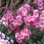 Erbaio_Gorra_Vivaio_Piante_Torino_Piemonte_Chrysanthemum 'Dulwich Pink' 2